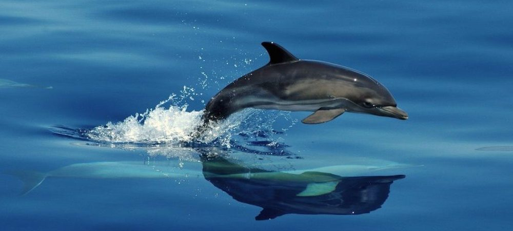 Common dolphin calf and its mother
